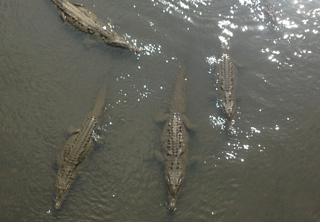 crocodiles in the river